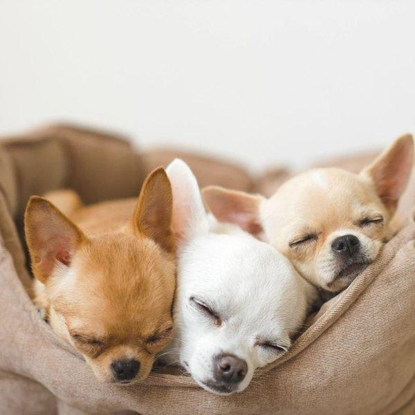 Chihuahua solitude