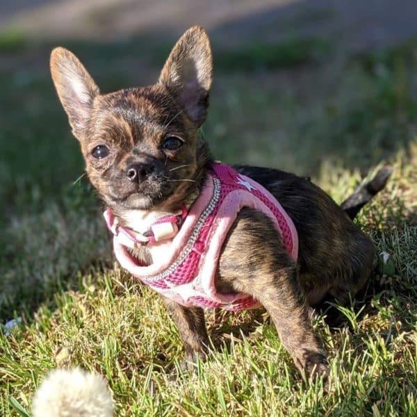 Chihuahua litière