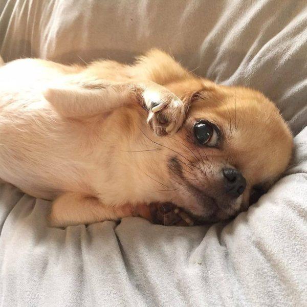 Chihuahua-mordille