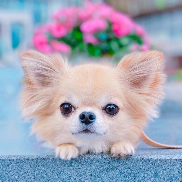 Chihuahua papillon nain beige