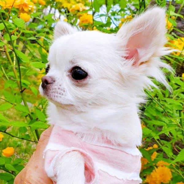 Chihuahua papillon nain blanc