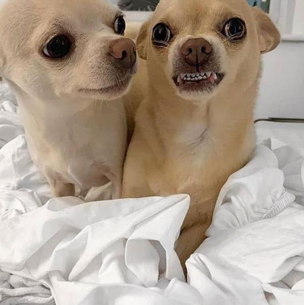 Chihuahua défaut dentition