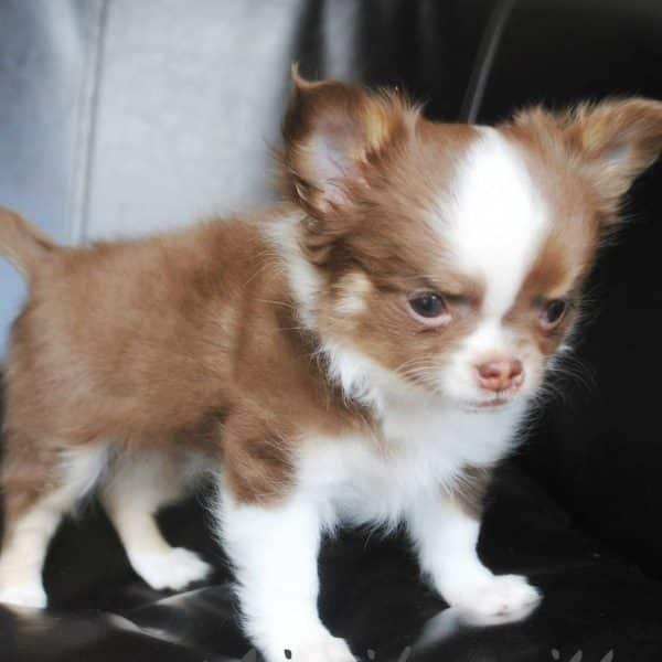Chihuahua papillon nain marron