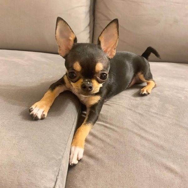 education chihuahua 4 5 mois chiot adule