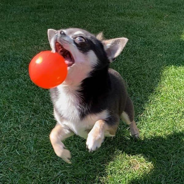 Chihuahua furieux excès d'énergie