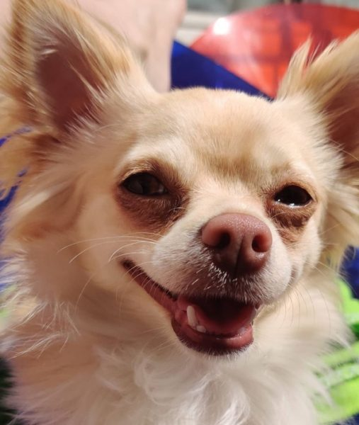 probleme double dentition chihuahua chiwawa